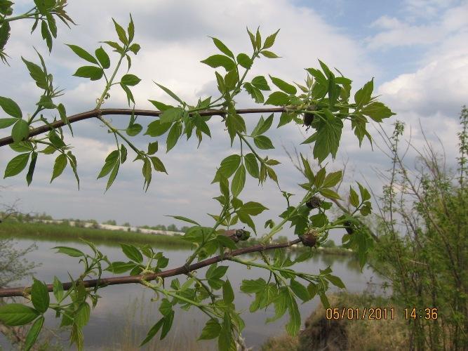 хрущ - майский жук